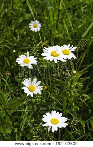 horse daisies, meadow grass, great ox eye daisy, field daisy, butter daisy