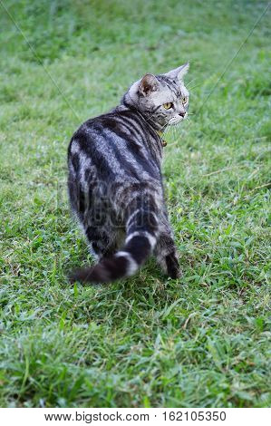 young yellow eyes american shorthair cat walk on green grass field