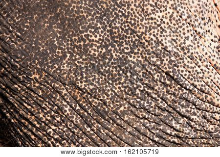 elderly Asiatic elephant wrinkle and spot skin texture and background