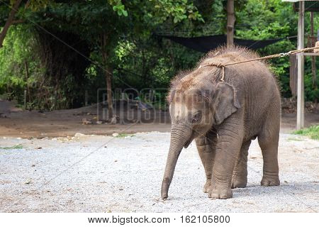 1 year cute baby Asiatic elephant and copy space at elephant villageHua Hin Thailand