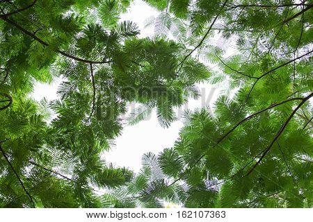 silhouette bottom view group of fresh green leaf of tree in tropical rain forest in Thailand for background and texture
