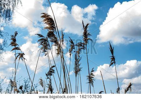 tall grass with spikelets-panicles against a beautiful blue sky with clouds