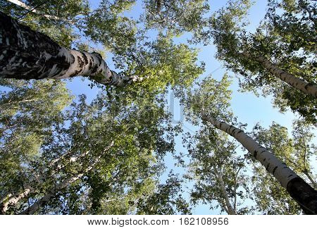 Bottom view on the trunk and foliage of a tall trees birch on a background of blue sky