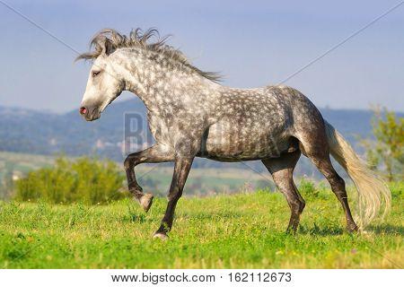 Grey horse run gallop against mountain view