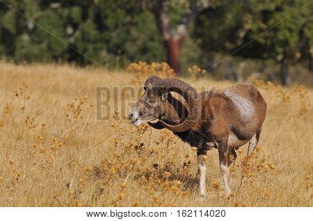 European Mouflon In The Field.