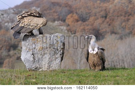 Griffon Vulture Perched On A Stone