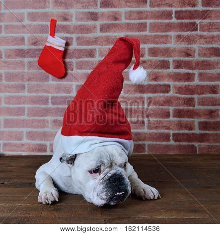 Portrait of French bulldog angry that hates Christmas.