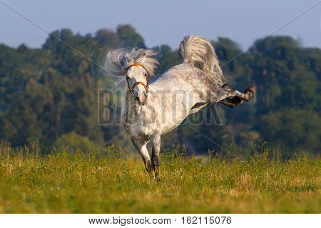 Beautiful grey horse with long mane run and joy outdoor
