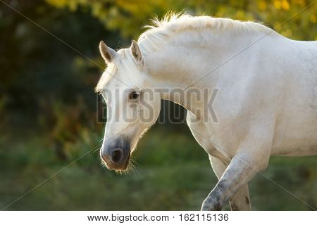White horse close up portrait outdoor in sunlight