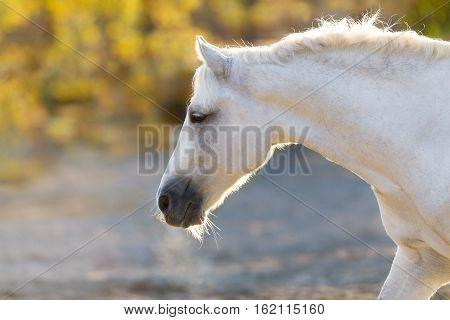 Grey horse portrait in sunlight in autumn day