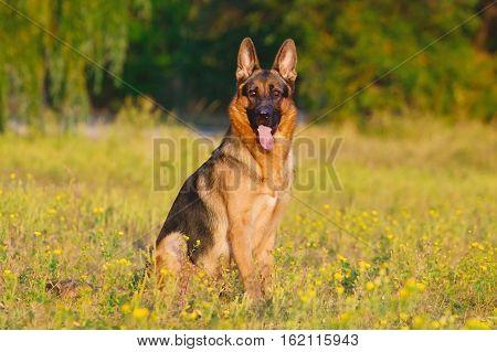 Beautiful shepherd dog sitting  on summer  park