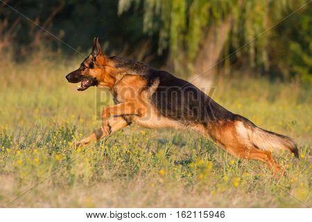 Shepherd dog run fast on summer green  park