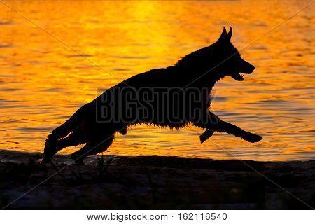Shepherd dog silhouette run against sunset in river