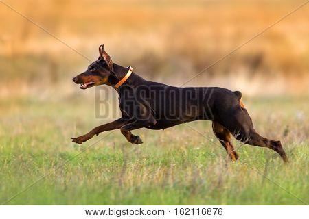 Doberman dog run fast in autumn field