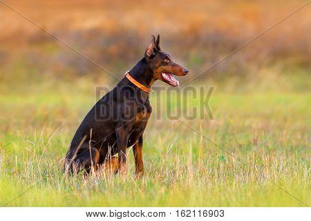 Doberman dog sitting in autumn park on grass