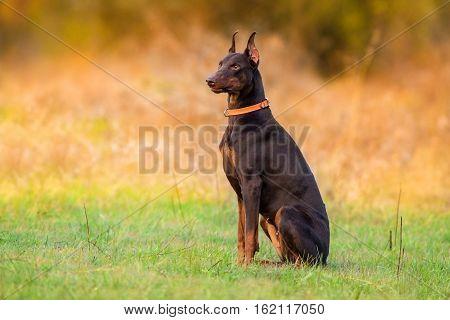 Beautiful doberman dog sitting in autumn park