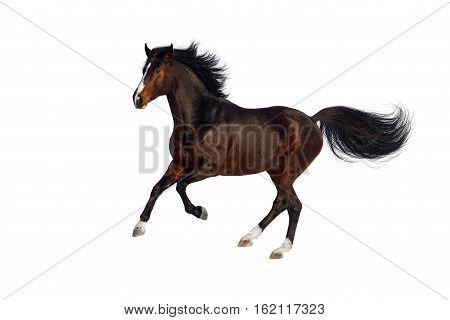 Bay horse run isolated on white background