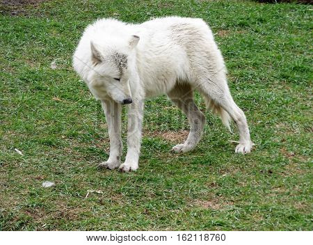 A picture of a lone Gray Wolf with his head turned sideways.