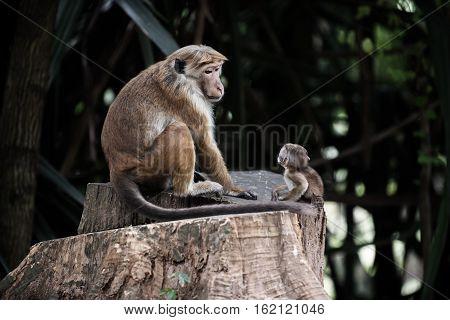 Sri Lanka: monkey and its baby in Royal Botanic Gardens, Peradeniya, Kandis