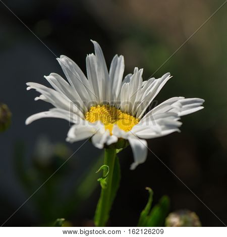 daisy flower on a blurred green background