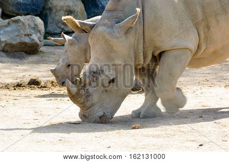 Mother and cute baby rhino in the back grazing in the sun