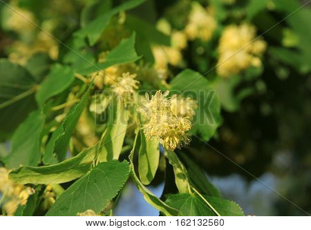 Linden tree in bloom, against a green leaves