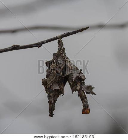 A cocoon of the Eastern Bagworm (Thyridopteryx ephemeraeformis),a moth that decorates its cocoon with bits of plant material from the trees on which it feeds, shown against a background of grey sky..