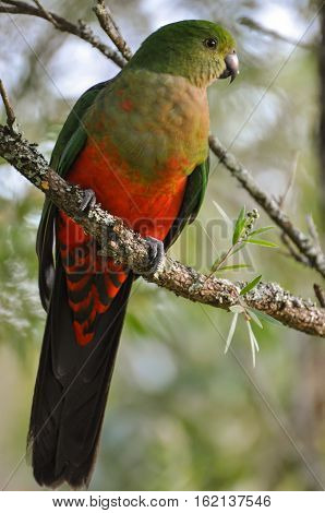 Young male King Parrot a native Australian bird perched on a tree branch. Endemic to eastern Australia.