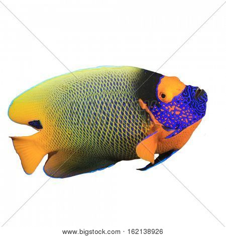 Tropical fish isolated: Blue-face Angelfish (also known as Yellow-mask or Blue-cheek Angelfish)