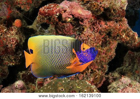 Tropical fish: Blue-faced Angelfish. Other names Blue-cheek or Yellow-mask Angelfish