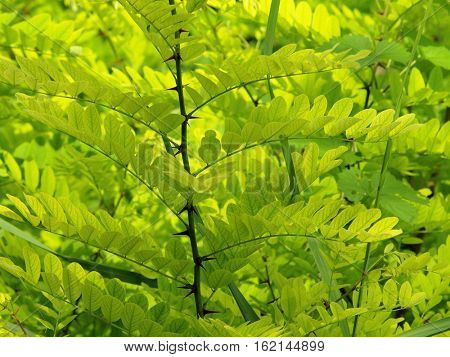 Green leaves of acacia