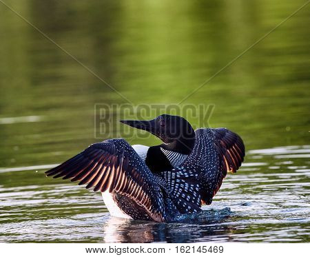 Common Loon (Gavia immer) in breeding plumage flapping wings on a northwoods lake in Wisconsin.