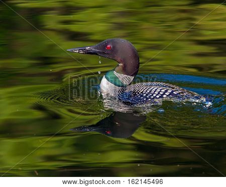 Common Loon (Gavia immer) in breeding plumage with water drip from beak on a northwoods lake in Wisconsin.