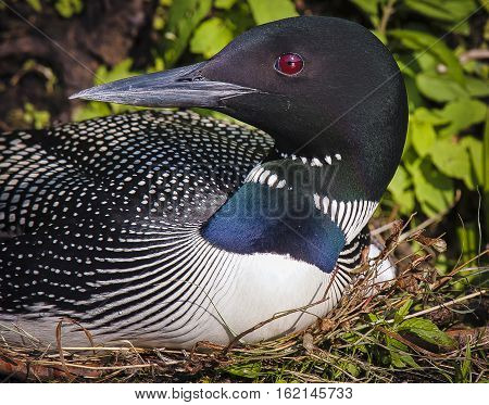 Common Loon (Gavia immer) in breeding plumage sitting on the nest on a northwoods lake in Wisconsin.