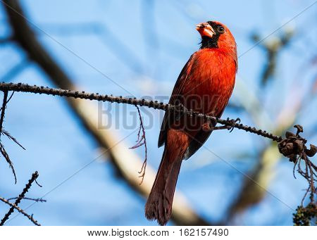 SHOT OF A MALE CARDINAL ON A BRANCH EATING