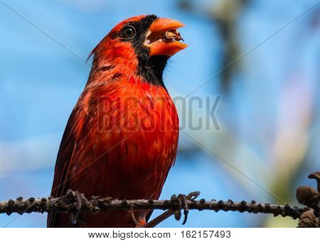 CLOSE UP SHOT OF A CARDINAL'S HEAD WITH A SEED IN HIS BEAK