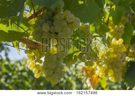 Ripened Pinot Gris Grapes in Vineyard Okanagan British Columbia Canada near Kelowna