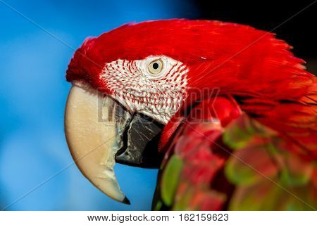 The green-winged macaw, also known as the red-and-green , is a large, mostly-red bird of the Ara genus. This is the largest of the genus, widespread in the forests and woodlands of South America.