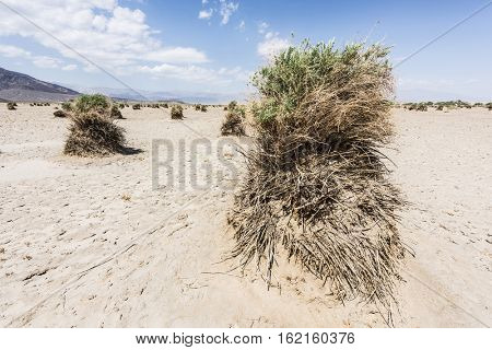 Sandy desert and shrub at Devils Cornfield, Death Valley National Park. California, USA