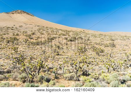 Many Joshua trees (yucca brevifolia) growing in the californian desert, USA.