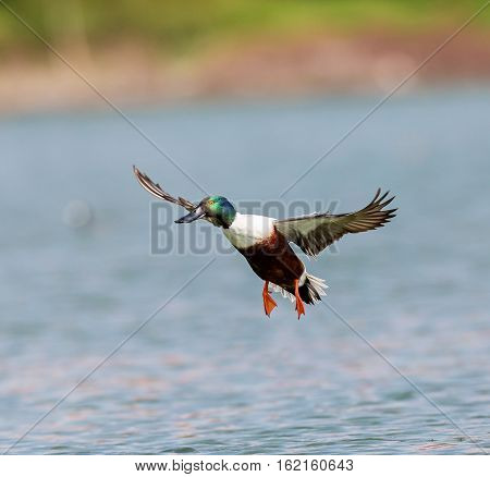 The northern shoveler, or northern shoveller in British English, sometimes known simply as the shoveller, is a common and widespread duck.