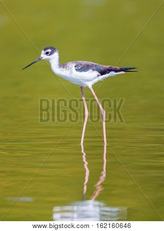 The black-necked stilt is a locally abundant shorebird of American wetlands and coastlines. It is found from the coastal areas of California through much of the interior western United States.