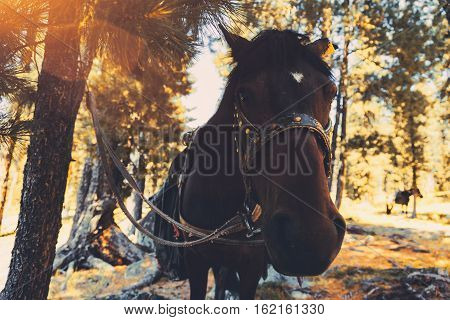 Closeup wide shoot of horse tied to a tree by the bridle in autumn or summer coniferous forest on sunny day