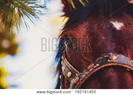 Close-up view of maroon horse head with white spot on the forehead eye in focus with bridle pinery on summer sunny day Russia Sayan forests