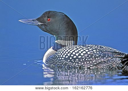 |Common Loon or Great Northern Diver portrait swimming on lake