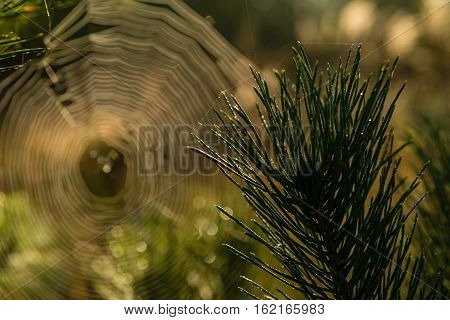 Pine branch in the sunbeams against the background of the spiderweb