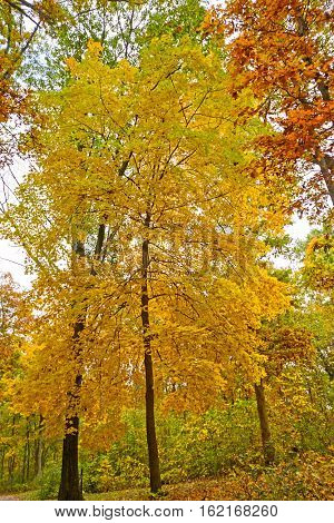 Yellow Tree in the Fall in Nelson Dewey State park in Wisconsin