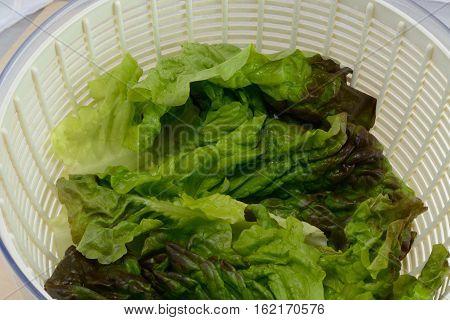Freshly rinsed red leaf lettuce in salad spinner bowl