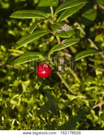 Vaccinium vitis-idaea Ripe cowberry macro selective focus shallow DOF