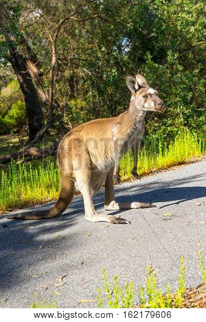 Kangaroo Walpole Australia standing on the road.